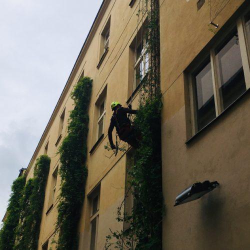 Prořez popínavé rostliny pomocí horolezecké techniky, Politických vězňů, Praha 1